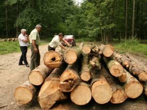 Pădurile, puse la pământ din cauza gândacului de scoarţă