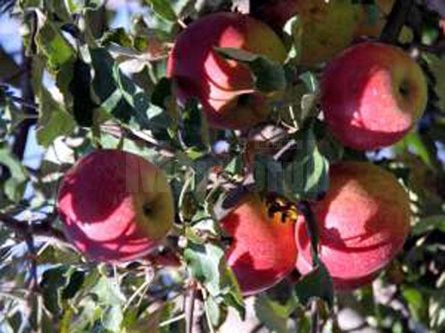 Trei persoane au fost surprinse în timp ce furau sute de kilograme de mere de la Staţiunea de Cercetare şi Dezvoltare Pomicolă Fălticeni