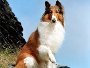 Lassie, pe primul loc în topul celor mai talentate vedete din lumea animalelor