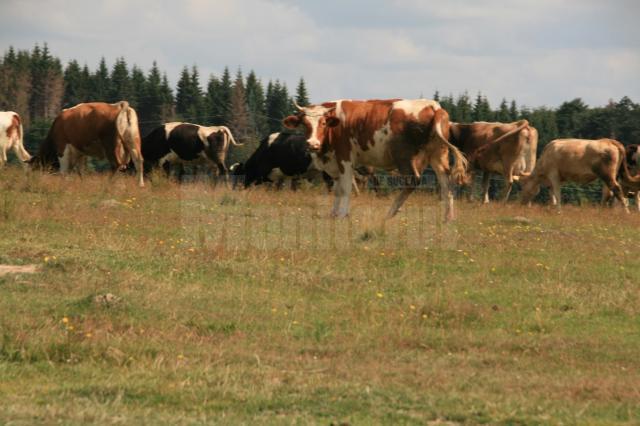 Începând de marţi se pot depune cererile de subvenţii pentru bovine