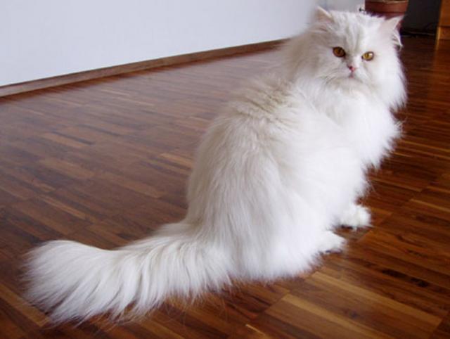Pisica persană