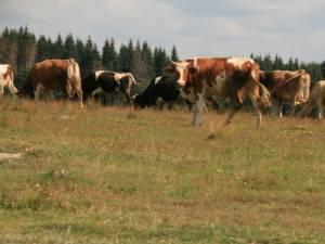 Opt bovine au fost depistate cu rabie în judeţ, în anul 2013