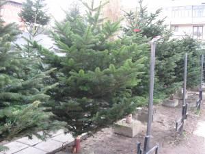 Bărbaţi din Botoşani, prinşi la Dumbrăveni cu pomi de Crăciun fără acte