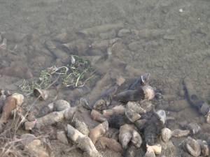 Sute de copite de cai, aruncate în râul Siret, pe raza comunei Fântânele