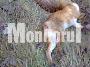 Vulpe omorâtă şi cu coada tăiată