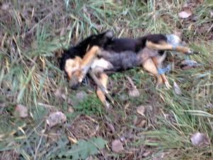 Animalele ucise cu sadism au fost găsite pe marginea drumului dintre Dărmăneşti şi Todireşti