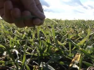 Aşa arăta acum câteva zile un teren însămânţat cu grâu, la Dumbrăveni