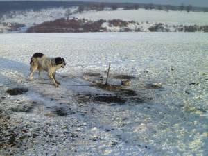 În această perioadă, multe stâne au fost abandonate, iar câinii au rămas legaţi şi fără adăpost