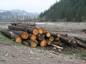 În ultimii ani au dat faliment peste 500 de firme mici de exploatare şi debitare a masei lemnoase din judeţele Suceava şi Neamţ