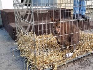 Cangurul a fost adus de la Cernăuţi pentru a fi operat la Suceava