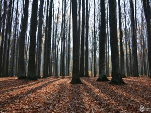 Rezervațiile naturale: Făgetul Dragomirna și Pădurea (Quercetumul) Crujana