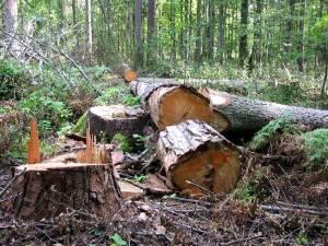 În teren au fost identificate 577 de cioate ale unor copaci tăiaţi ilegal