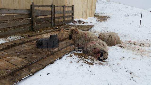 O haită de animale sălbatice a lăsat dezastru în urmă la stâna unui crescător de oi din satul Mihoveni