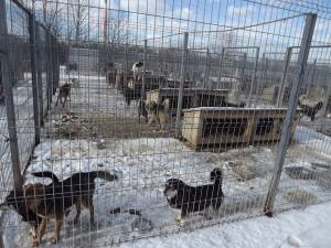 Pericol de supraaglomerare la adăpostul de câini