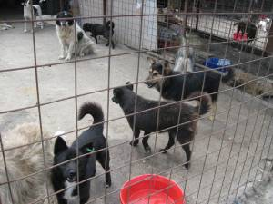 Câini de la adăpostul din Lunca Sucevei
