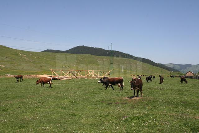 Bovinele şatenilor au păscut ieri liniştite  pe imaş, fără a fi evacuate cu Poliţia
