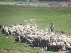 Ciobanii din Roşcani se plâng că nu mai au pe unde să-şi ducă oile la apă, susţinând că autorităţile locale nu s-au gândit şi la această problemă când au făcut împărţirea pajiştilor