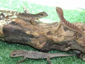 Pui de varani, la expoziţia de reptile vii de la SCS