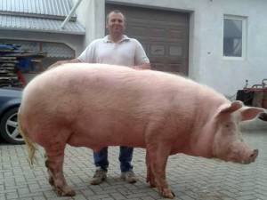 Porcul uriaş şi proprietarul său. Foto: FaceBook