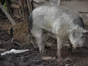 Porcul agresiv în curtea proprietarului