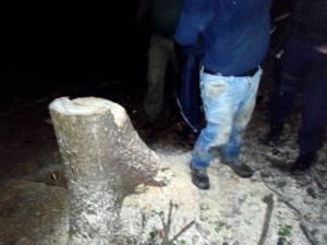 Peste 60 de arbori au fost tăiaţi ilegal