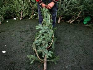 150 de brazi de crăciun, confiscaţi de poliţişti