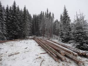 Volumul exploatabil scos la vânzare pentru acest an de Direcţia Silvică Suceava este de aproape jumătate de milion de metri cubi