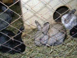 """""""Creşterea iepurilor de casă"""""""