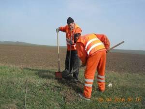 Lucrătorii de la Secţia de Drumuri Naţionale Suceava au plantat, la marginea unor drumuri naţionale care străbat judeţul, peste o mie de arbori