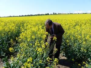 91 de hectare cu rapiţă, cultivate de Staţiunea de Cercetare şi Dezvoltare Agricolă Suceava pe terenul pe care îl are între Suceava şi Lisaura