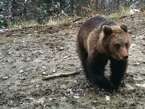 Pericol de atacuri de urs, semnalat de Garda Forestieră Suceava