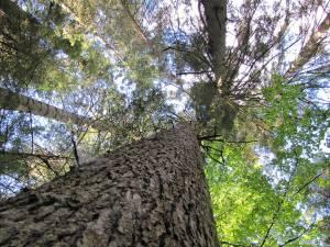 Pădurile gestionate de Direcția Silvică Suceava se numără printre cele mai bine gospodărite suprafețe forestiere din lume, respectarea standardelor FSC fiind verificată de auditori internaționali