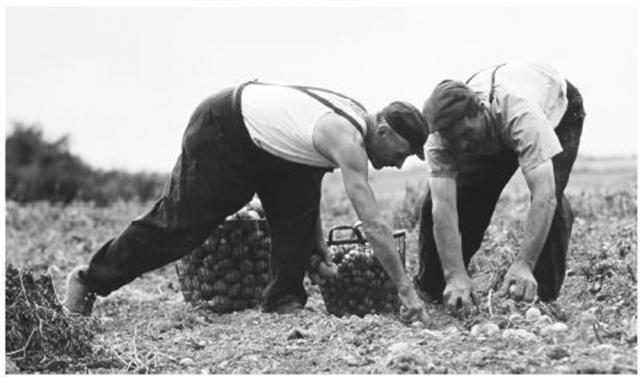 """""""Producția de cartofi la Calfindești"""""""