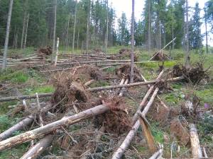 Tăieri ilegale de arbori, prin înscenarea unor furtuni