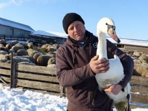 Florin Hostiuc este cel care a salvat lebăda dintre gheţuri și a cazat-o la stâna sa din Ipotești