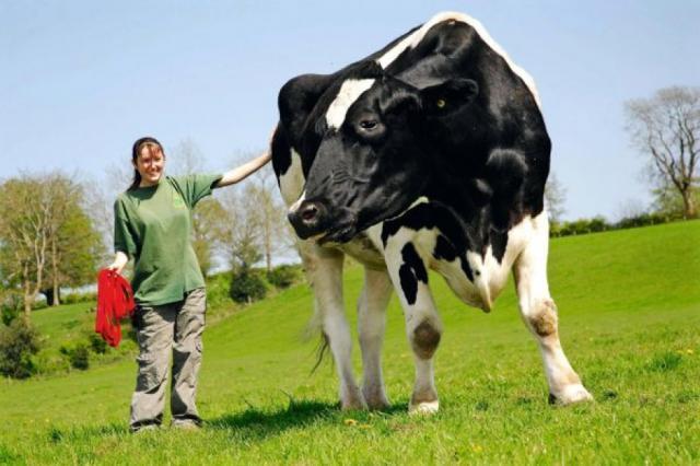 Vaci mari cât elefanţii ar putea hoinări, în curând, prin Europa!. Foto: www.antenasatelor.ro