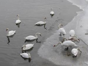 Lebedele de pe iazul Șomuz din Fălticeni au primit hrană cu sprijinul primăriei