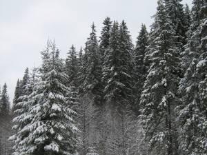 Tăierile ilegale din pădurile Sucevei s-au diminuat la jumătate