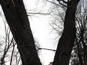 Stejar pedunculat din Parcul Central, legat cu chingi de oţel, considerat prea periculos pentru a mai fi menţinut - după tăiere