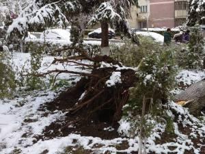 arbori cazuti de la greutatea zapezii