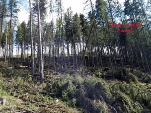 Arbori smulşi din rădăcini, cu utilaje mecanice, pentru a părea doborâţi de vânt