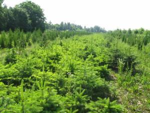 Nouă milioane de puieţi de arbori sunt produşi anual în pepinierele proprii ale Direcției Silvice Suceava