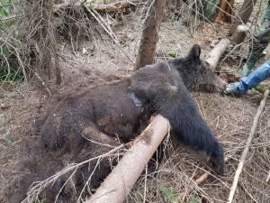 Ursoaica cu trei pui, gasita moarta in padure