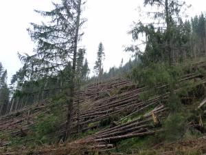 Arbori puși la pământ de urgia naturii