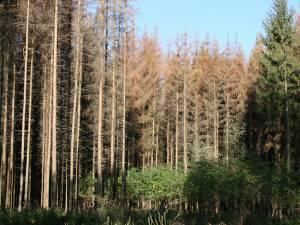 Păduri uscate de atacul gândacilor de scoarţă