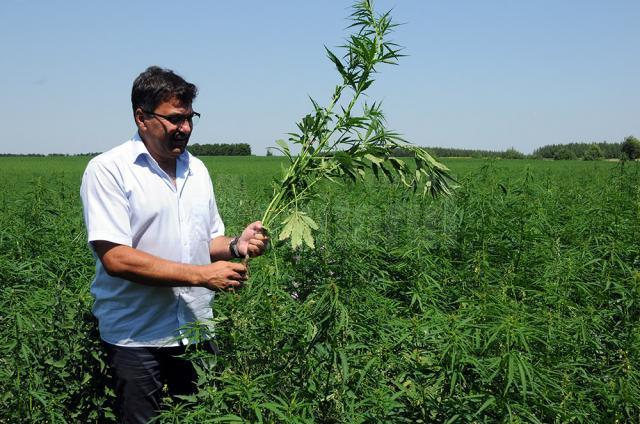 Tehnologia de cultivare a cânepii a fost explicată celor prezenţi la simpozion, în mijlocul plantaţiei