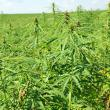 Cânepa se cultivă din nou în Suceava. Producătorii şi procesatorii s-au întâlnit pentru a găsi soluţii de relansare a acestei culturi