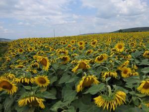 Circa 3.000 de hectare cu floarea-soarelui au fost cultivate doar in acest an în judeţul Suceava