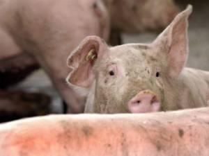 Primul focar de pestă porcină africană a fost confirmat în România