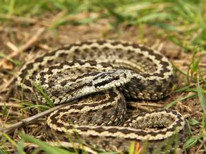 Acesta este al şaptea caz de plagă muşcată de şarpe înregistrat la UPU de la 1 iulie 2017 şi până în prezent Foto www.descopera.ro